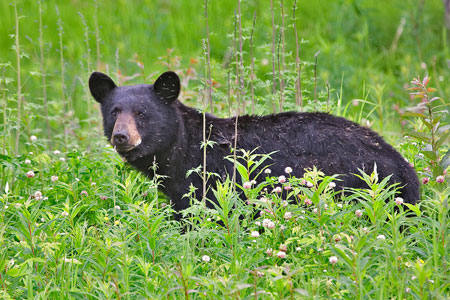 black_bear_1570np